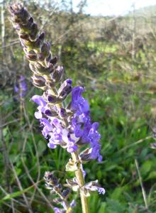 Salvia-sclareoides-