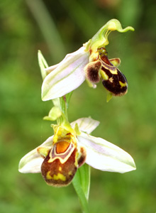 bee_orchid1