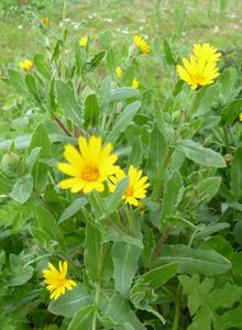 field_marigold2